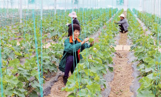 发展大棚立体种植 带动农民增收