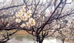 [春天花事]赏二月梅园 观林屋洞 西山草莓采摘